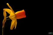 28th Mar 2014 - Daffodil