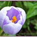 Crocus by carolmw