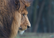 29th Mar 2014 - Lion In The Morning Sun