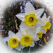 29th Mar 2014 - Daffodils - 29-03