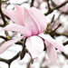 28.3.14 Magnolia by stoat
