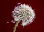 30th Mar 2014 - Spreading seed... SOOC