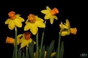 30th Mar 2014 - Daffodils