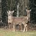 Deer at Dusk by lauriehiggins
