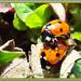 Busy Ladybirds by carolmw