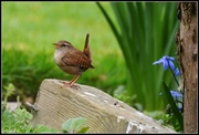 31st Mar 2014 - One of our little wrens