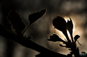 1st Apr 2014 - Blossoming into the Light