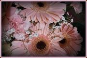 3rd Apr 2014 - pink gerberas