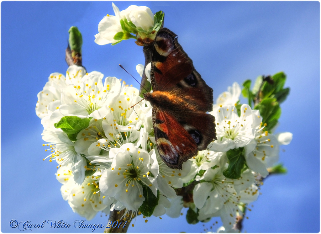 Peacock Butterfly And Plum Blossom by carolmw