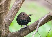 4th Apr 2014 - The blackbird - 4-04