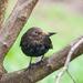 The blackbird - 4-04 by barrowlane