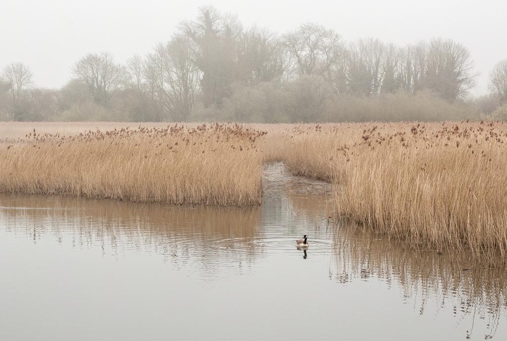 Misty morning at Marsworth 2 : Goose on the reservoir  by dulciknit