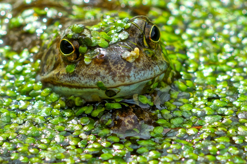WEEDY FROG- TAKE TWO by markp