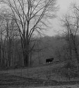 4th Apr 2014 - bull was camera shy (thank goodness)