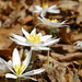 Bloodroot Bloom by khawbecker