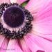 Anemone by cdonohoue