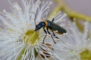 6th Apr 2014 - Soldier Beetle
