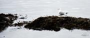 6th Apr 2014 - Seagull