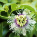2014 04 06 Passionfruit Flower by kwiksilver