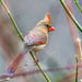 Female Cardinal by kathyladley