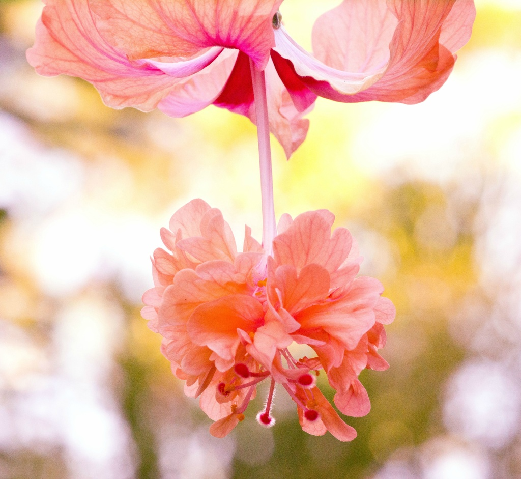 Hibiscus by bella_ss