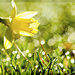 Daffodil Bokeh by lyndemc