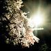 Night Blossoms by gailmmeek