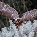 Owl in flight by flyrobin