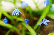 10th Apr 2014 - Little blue flowers