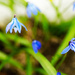 Little blue flowers by elisasaeter