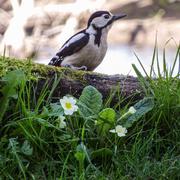 10th Apr 2014 - Woody amongst the primroses - 10-04