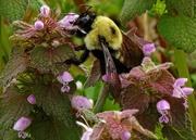 10th Apr 2014 - Well Fed Bee