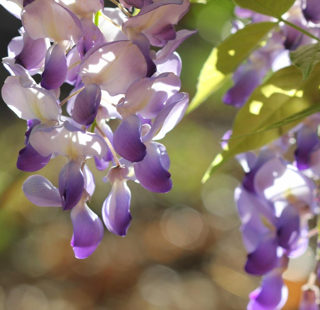 Purple by tara11