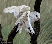 11th Apr 2014 - Clumsy landing - Hedwig of course