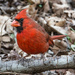 Cardinal among the leaves by kathyladley