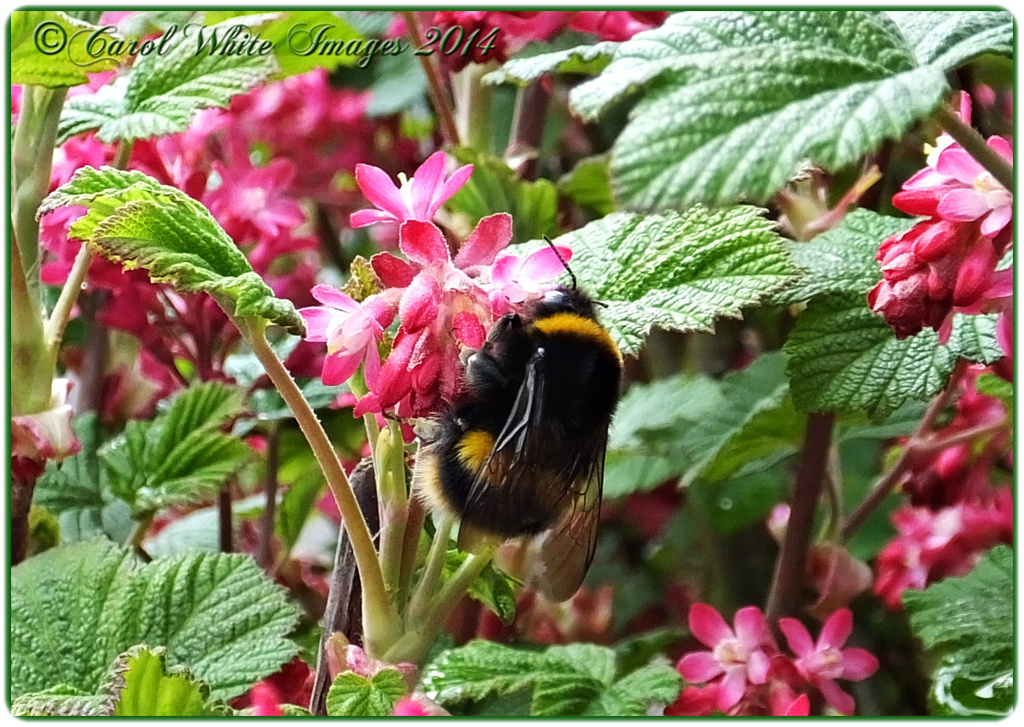 Bumble Bee And Ribes by carolmw