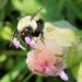 Bee's breakfast by cjwhite