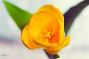 13th Apr 2014 - Yellow tulips