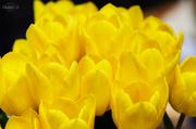 14th Apr 2014 - My tulips