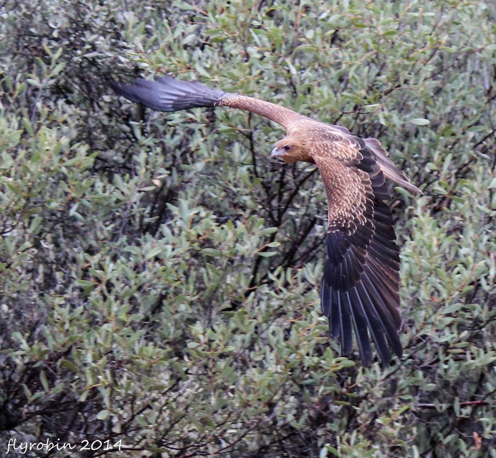 Hawk in flight by flyrobin