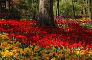 15th Apr 2014 - Tulips in Every Color