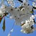 Cherry blossom.... by snowy