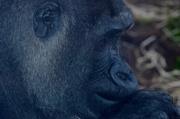 17th Apr 2014 - Gorilla