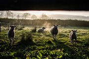 17th Apr 2014 - Sunrise over the sheep - 17-04