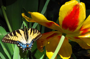 17th Apr 2014 - Hooray for Swallowtails