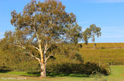 18th Apr 2014 - Autumn in the Barossa Valley
