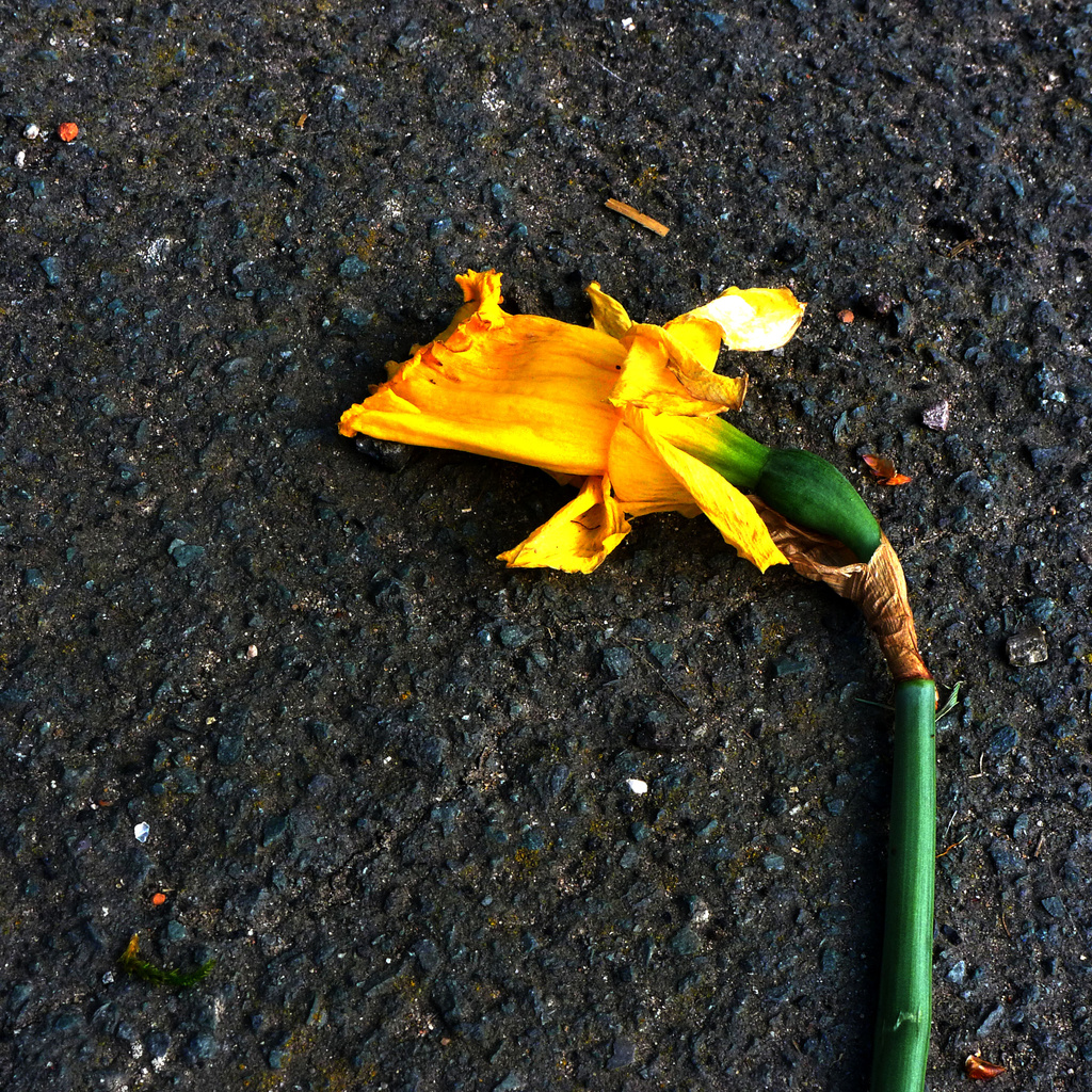 Dying Daff by newbank