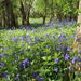 Bluebells in Potten Wood