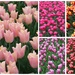 Collage of tulips