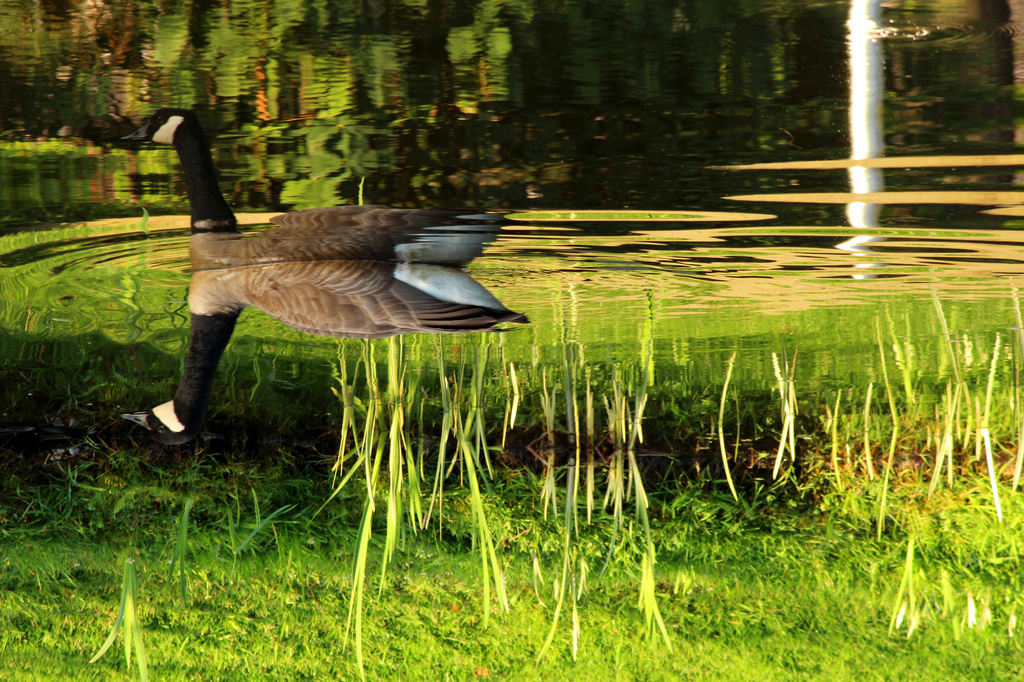Flipping Geese Are EVERYWHERE by nanderson